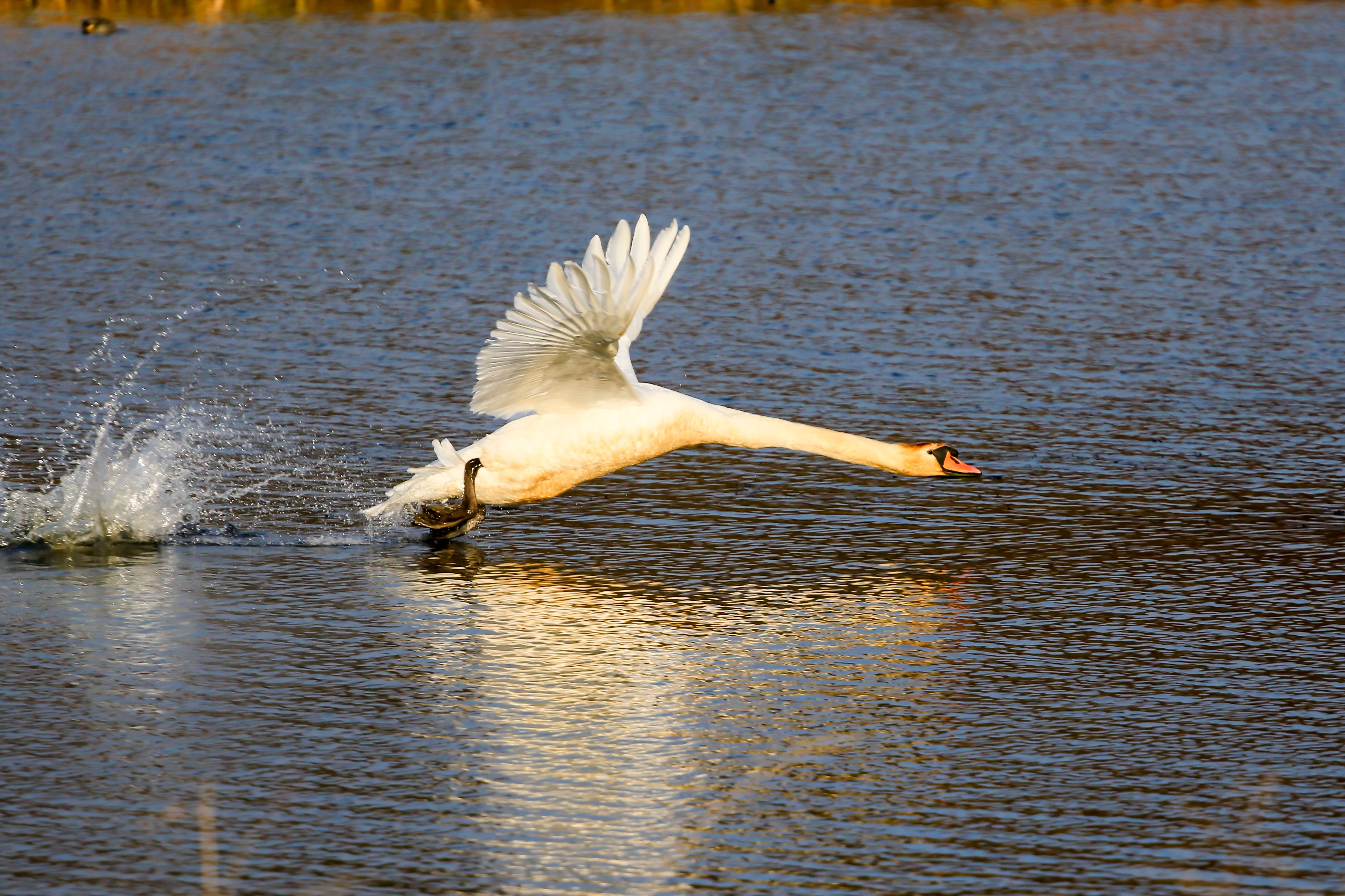 Swan taking off from lake